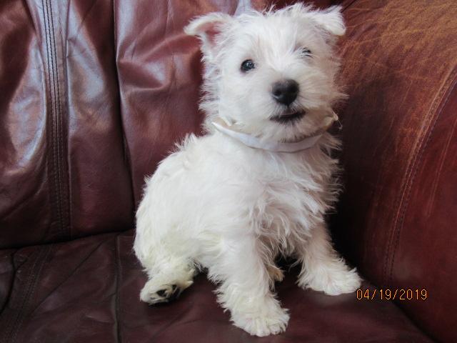 Nancy's Westies - Pixie's Litter of Westie Puppies for Sale