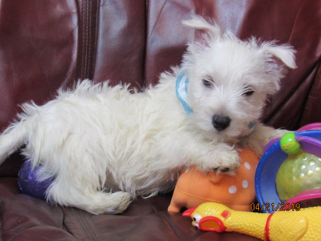 Westie Puppies For Sale In Florida