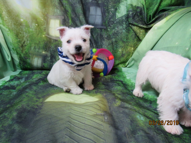 Nancy's Westies - Pixie's Litter of Westie Puppies for Sale