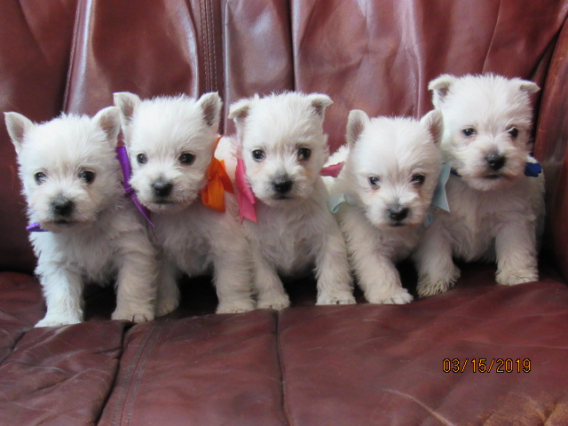 Nancy's Westies - Gracee's Litter of Westie Puppies for Sale