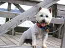 Tristin the AKC Registered STUD West Highland White Terrier